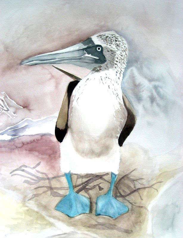 Blue Footed Booby  2
